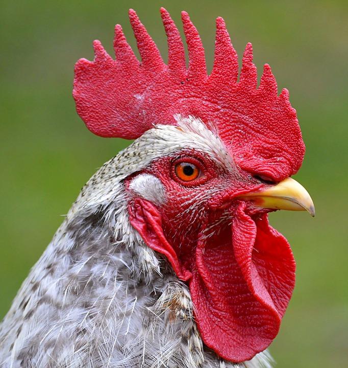 Hahn, Head, Comb, Eye, Bill, Close, Poultry, Animal