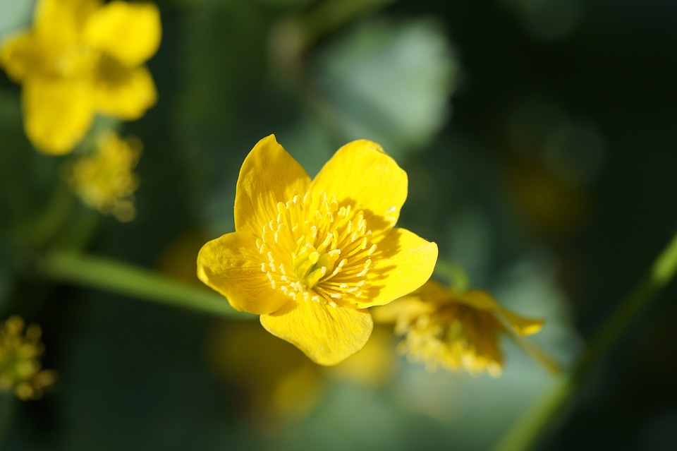 Caltha Palustris, Close, Hahnemann Foot Greenhouse