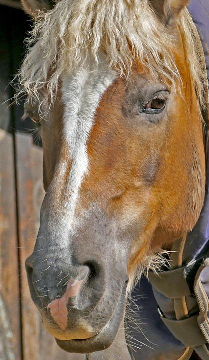 Animal, Mount, Horse, Old Horse, Close, Head, Light