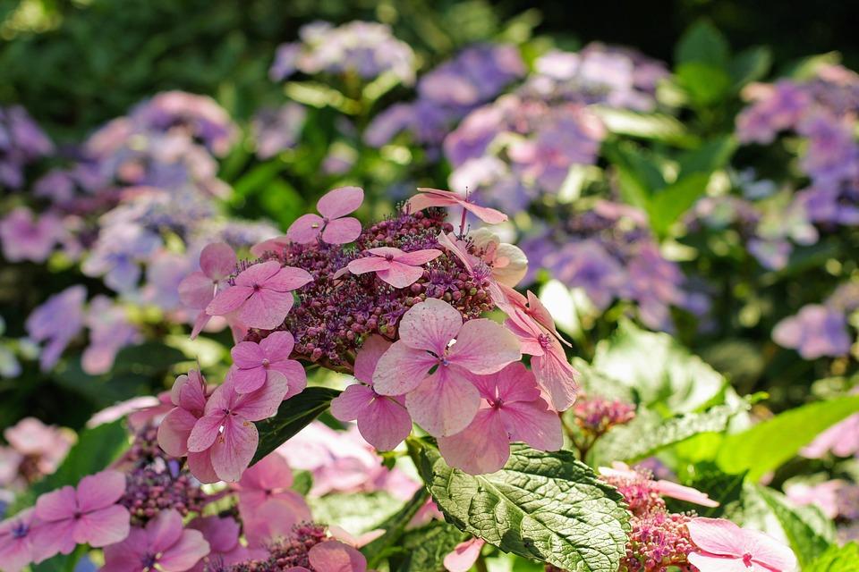 Hydrangea, Flower, Blossom, Bloom, Close