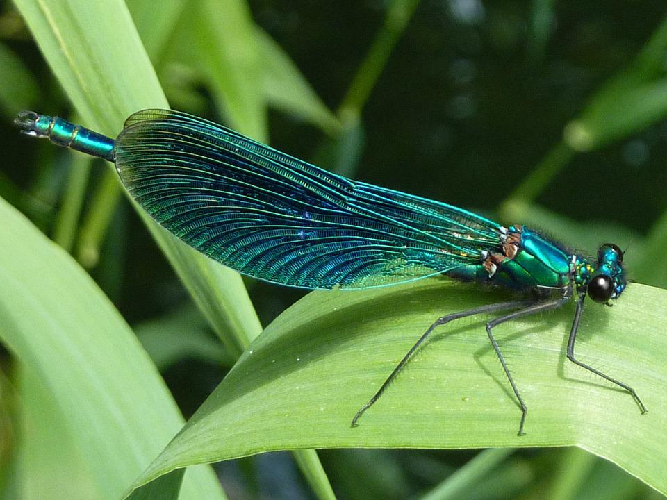 Dragonfly, Arthropod, Insect, Macro, Nature, Close