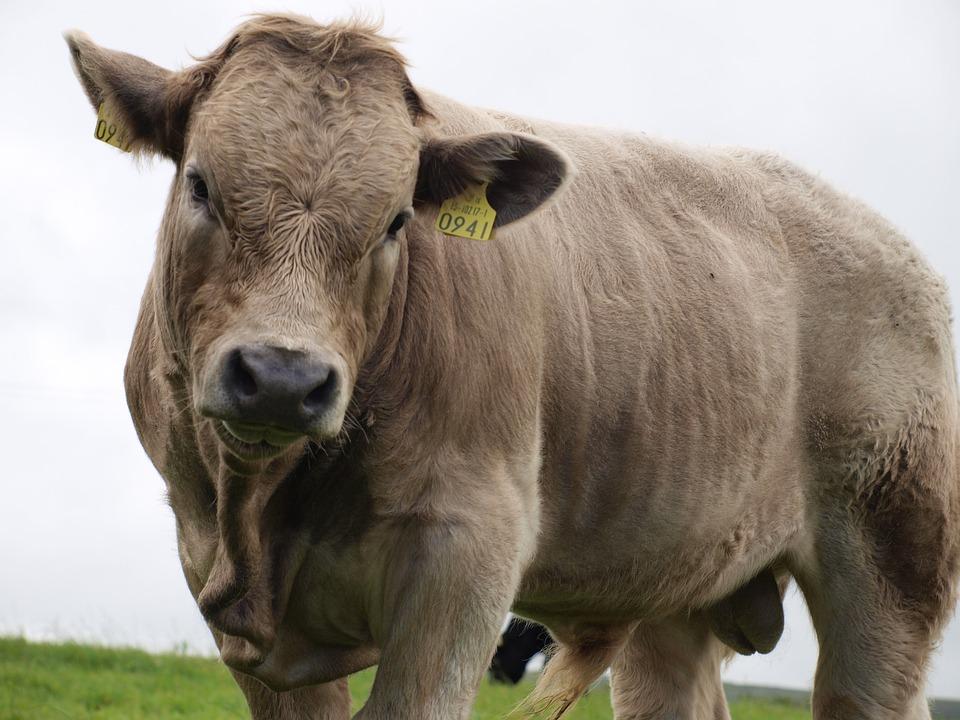 Beef, Ireland, Close