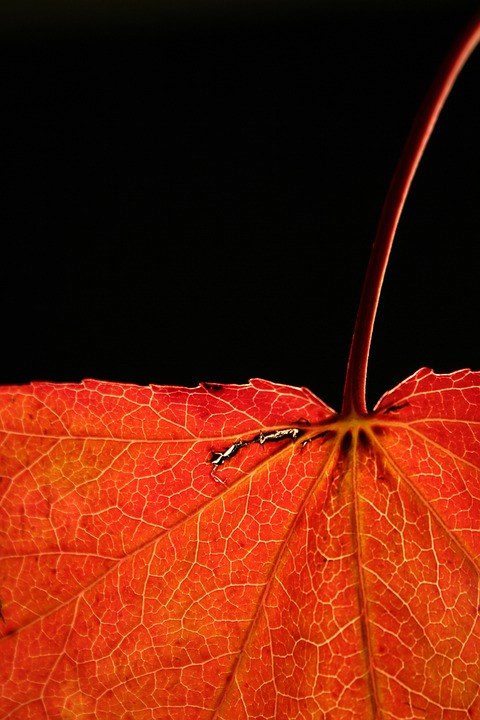 Autumn, Red, Leaf, Nature, Close, Veins, Leaves