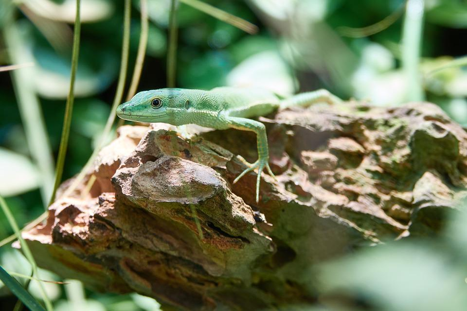 Lizard, Reptile, Animal, Close, Zoo, Insect Eater