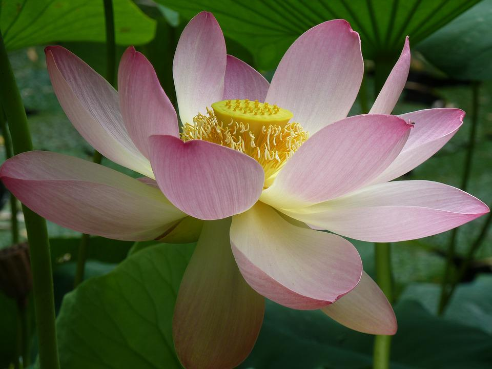 picture of a lotus flower new best image flower of 2018