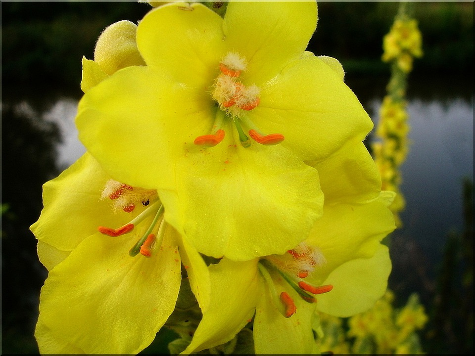 Blossom, Bloom, Yellow, Summer, Close, Nature, Mullein