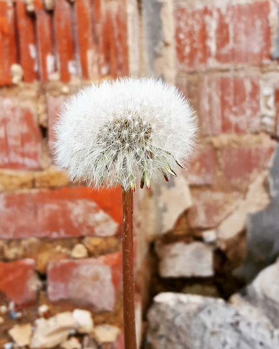 Fluffy, Nature, Dandelion, Plant, Season, Summer, Close