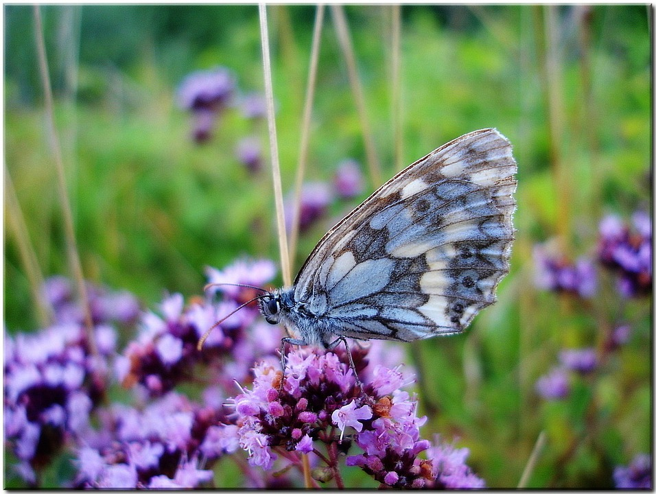 Meadow, Butterfly, Close, Nature, Summer, Flower Blue