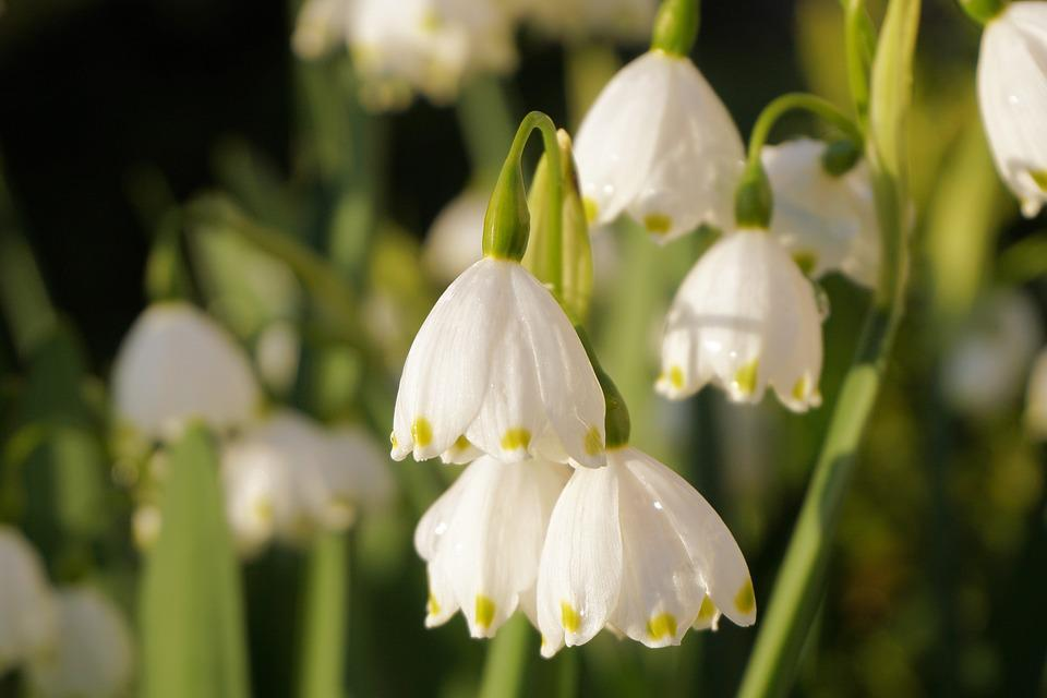 Flowers, Spring, Nature, Plant, Close, Snowdrop