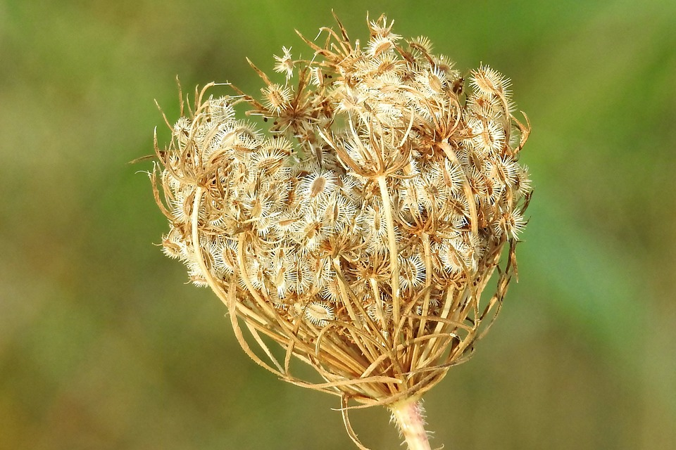 Wild Carrot, Plant, Close, Nature