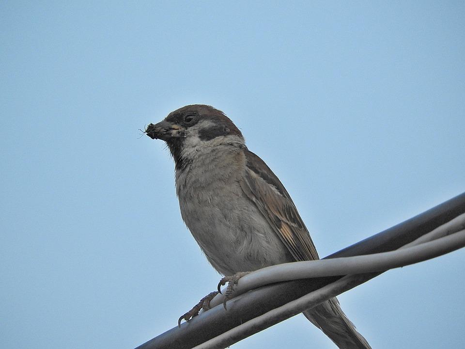 Sparrow, Bird, Plumage, Close