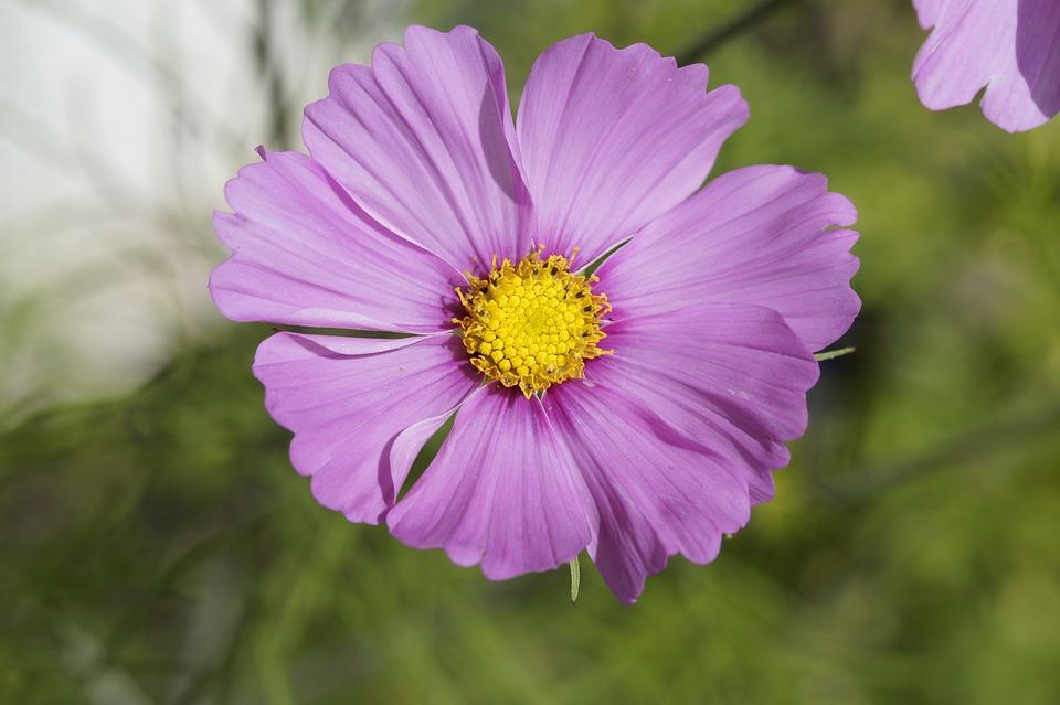 Mallow, Blossom, Bloom, Purple, Violet, Flower, Close