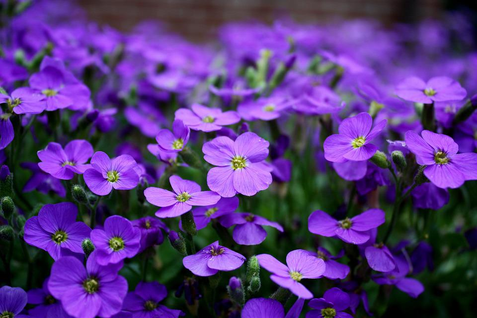 Free photo Close Purple Purple Flower Flowers Ground Cover - Max Pixel
