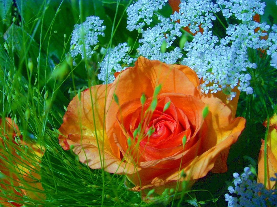 Rose, Close, Beautiful, Fragrant, Macro