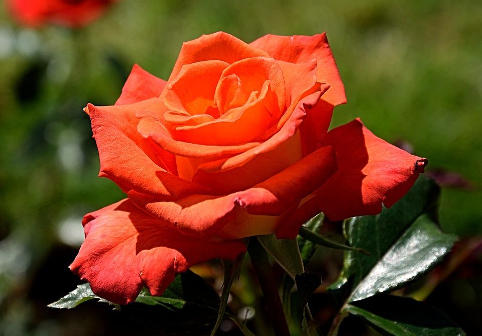 Rose, Red, Blossom, Bloom, Close