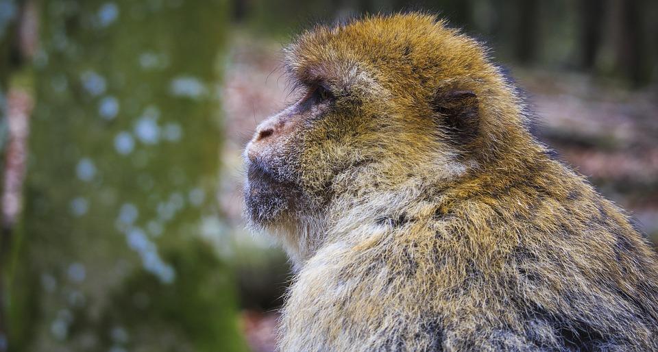 Barbary Ape, Close, Monkey Mountain, Salem