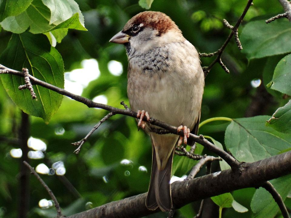 Sparrow, Bird, Close, Feather, Plumage, Tree, Leaves