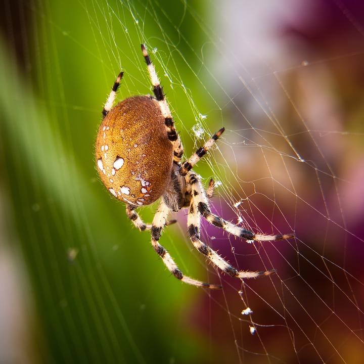 Spider, Macro, Four Stain Kreuzspinne, Close, Nature