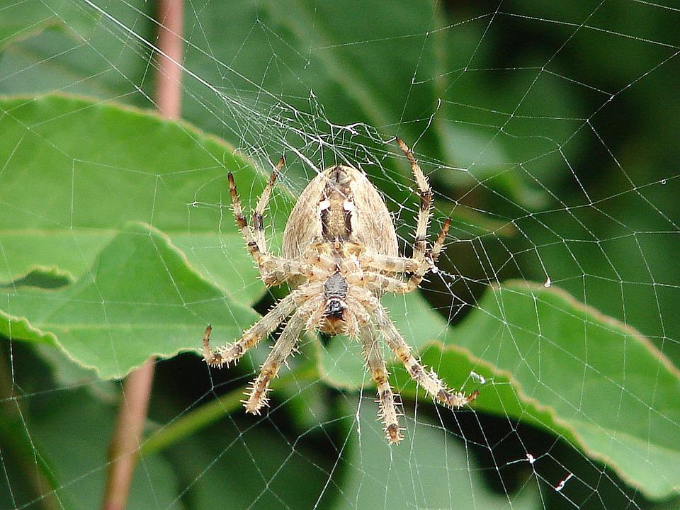 Spider, Cobweb, Insect, Network, Close, Arachne