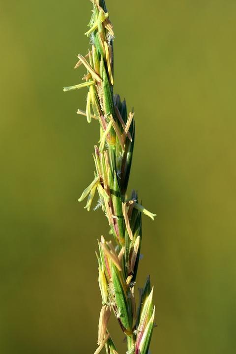 Grass, Wild Grass, Grasses, Close, Macro, Plant, Spike