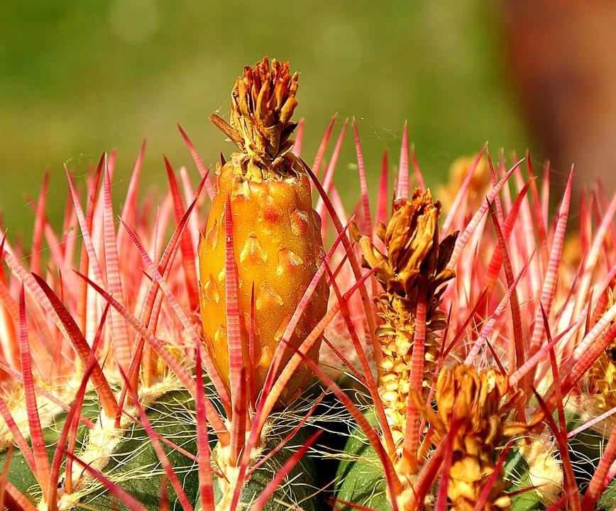 Cactus, Blossom, Bloom, Close, Spring