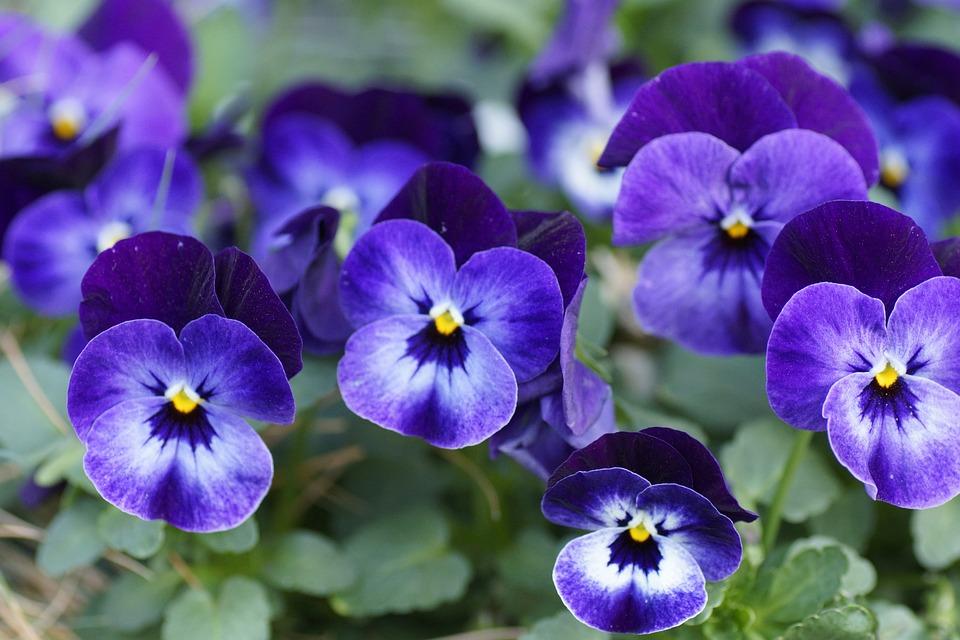 400–500, Pansy, Spring Flower, Blossom, Bloom, Close
