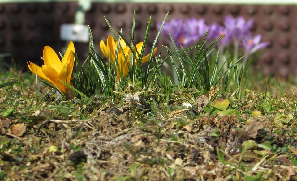Spring Flowers, Crocus, Yellow, Purple, Close
