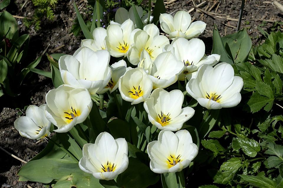 Tulip, Blossom, Bloom, Flower, White, Spring, Close