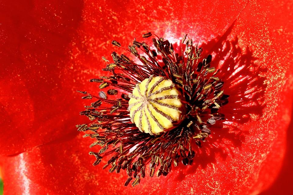 Poppy, Red, Poppy Flower, Close, Macro, Pollen, Summer