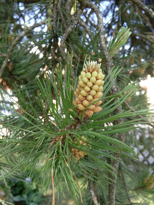 Thriving Pine, Pine, Tree, Nature, Close