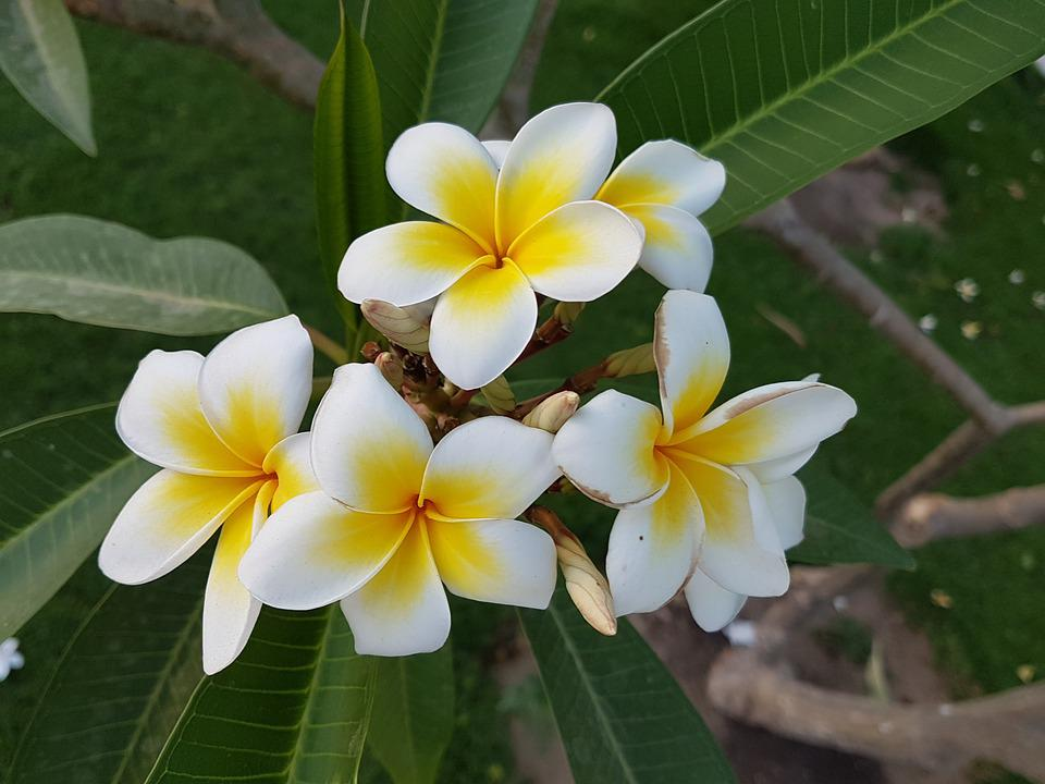 Tropical, Plant, Frangipani, Nature, Flower, Close