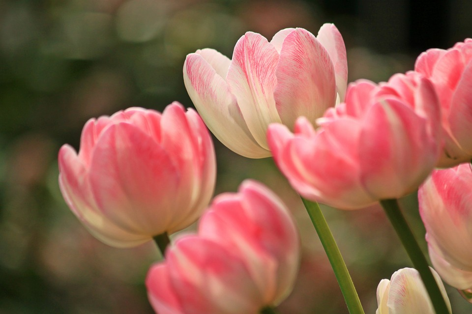Tulips, Flowers, Spring, Plant, Flora, Nature, Close