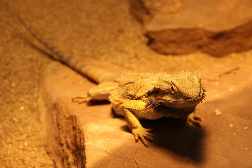 Gekko, Lizard, Reptile, Animal, Animal World, Close Up