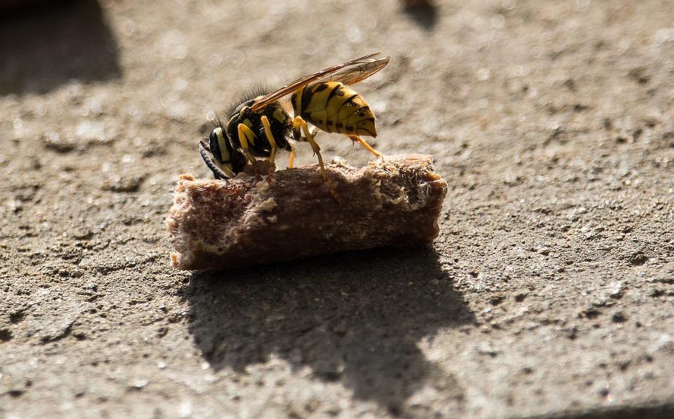 Wasp, Insect, Animal, Animal World, Yellow, Close Up