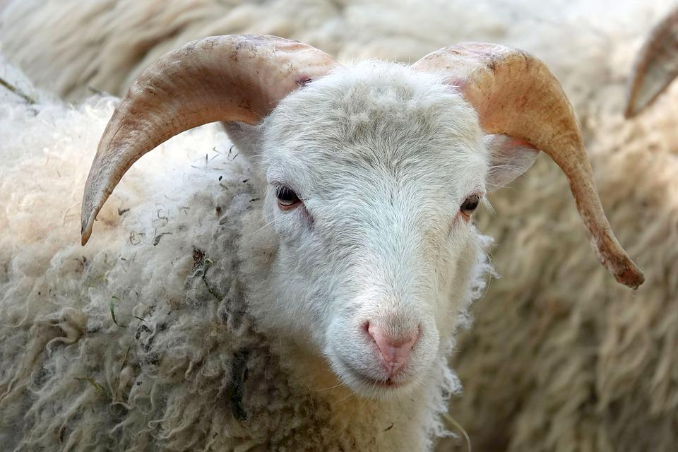 Sheepshead, Sheep, Wool, Close Up, Animal Portrait