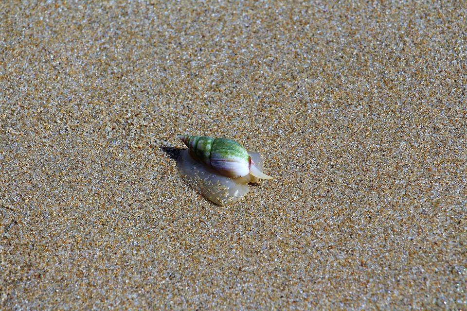Snail, Beach, Animal, Shell, Close Up, Animal World