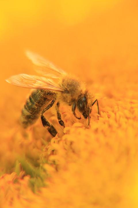 Bee, Honey, Insect, Close Up