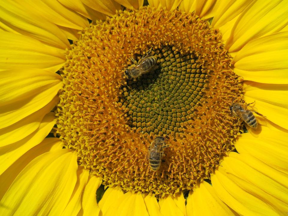 Sunflower In October, Close Up, Bees, Autumn, Blossom