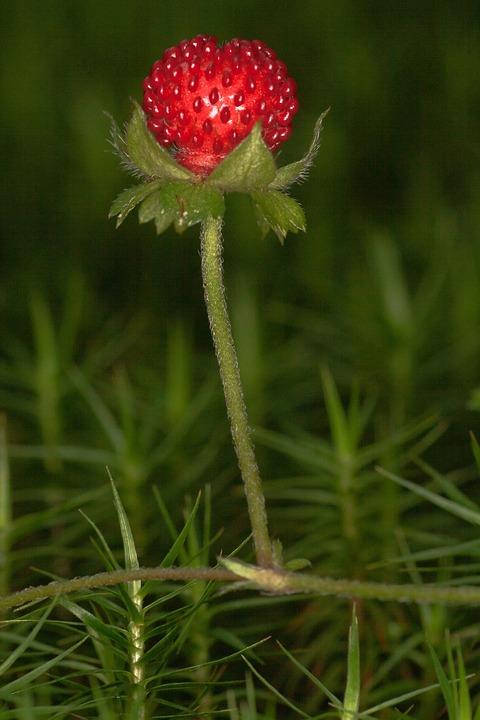 Wild Strawberry, Strawberry, Berry, Close Up