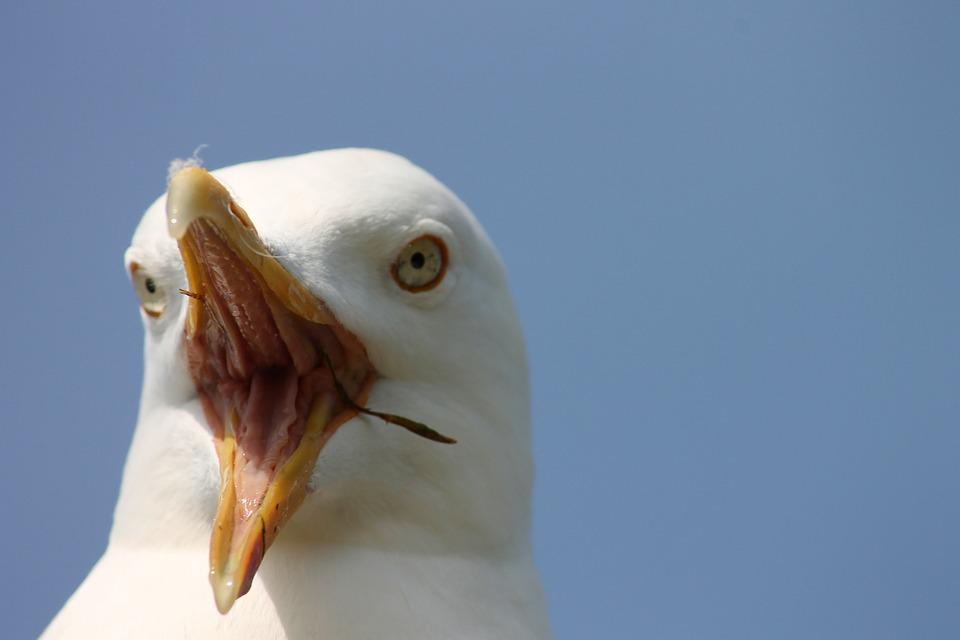 Seagull, Close Up, Scream, Insight, Head, Bill