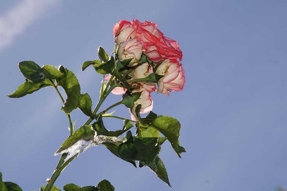 Rose, Blossom, Bloom, Close Up, Antiquity, Rosaceae