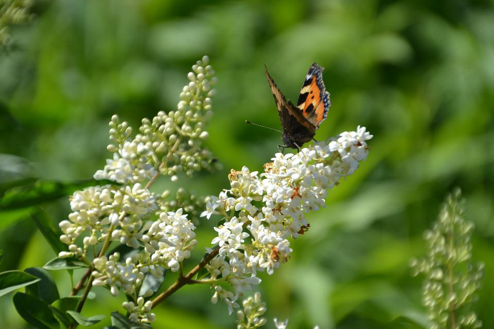 Butterfly, Admiral, Insect, Nature, Close Up, Blossom