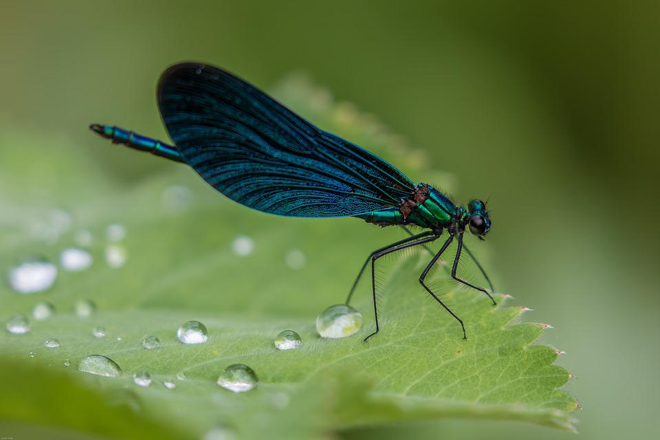 Dragonfly, Demoiselle, Blue Dragonfly, Close Up