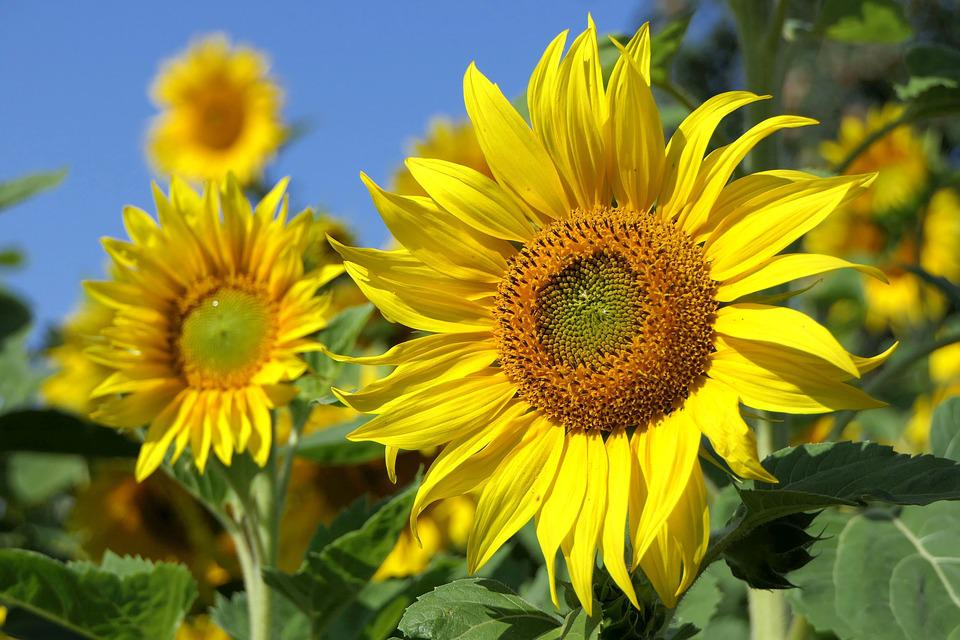 Sun Flower, Sunny, Bright, Plant, Close Up, Summer