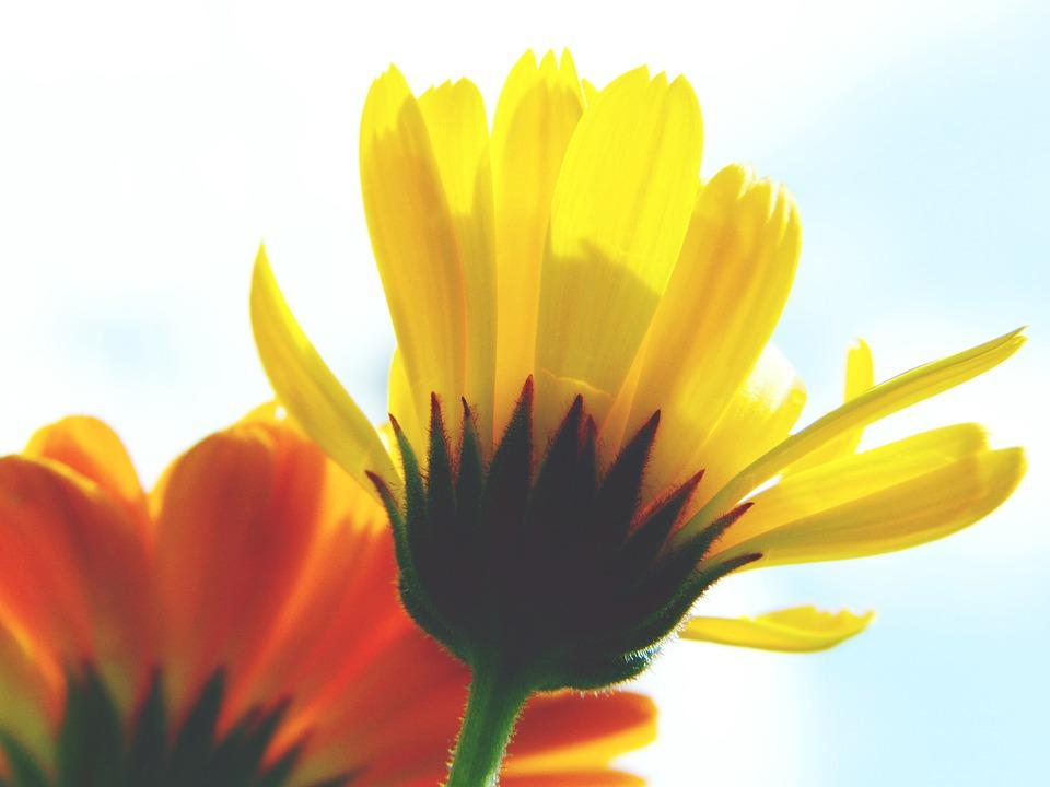 Marigold, Calendula, Close Up, Blossom, Bloom, Petals