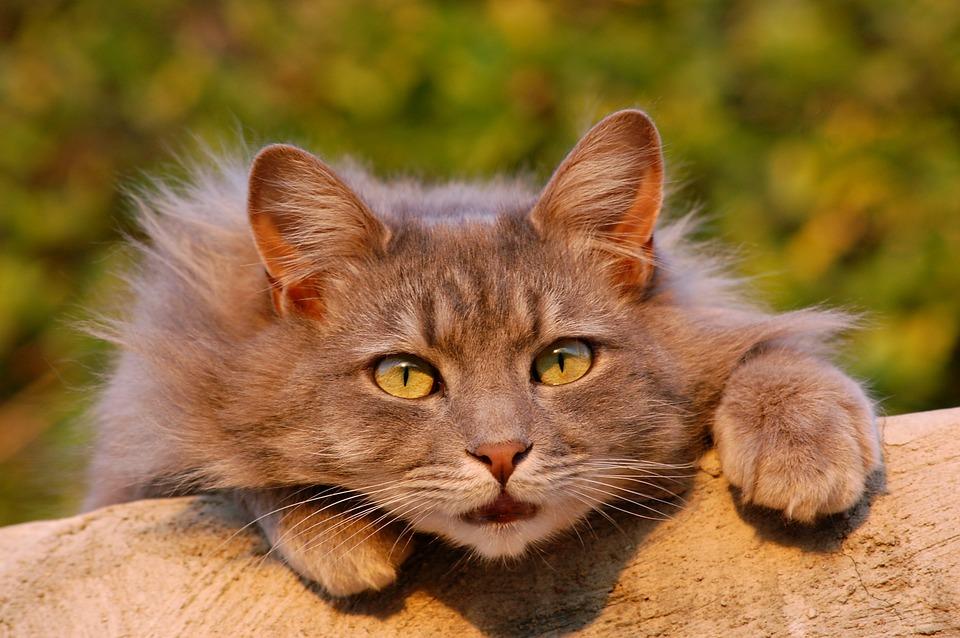 Cat, Feline, Furry, Pet, Close Up, Domestic Animal