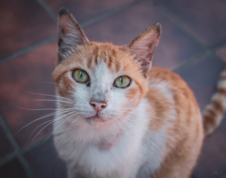 Cat, Domestic Cat, Strays, View, Head, Close Up