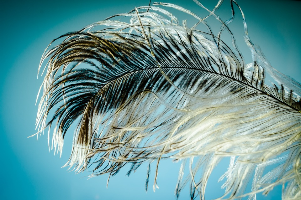 Ostrich Feather, Feather, Ease, Strauss, Close Up