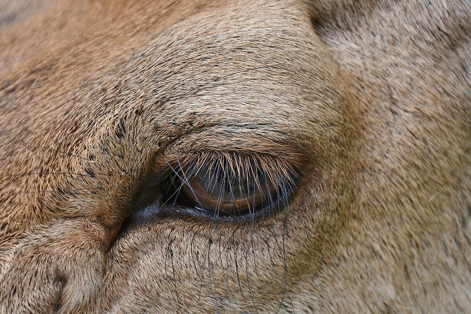 Eye, Animal Eye, Hirsch, Wild, Eyelashes, Close Up