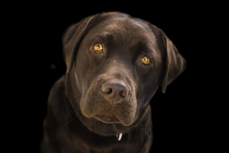 Labrador, Face, Brown, Close Up, Dog, Animal, Pet, Cute